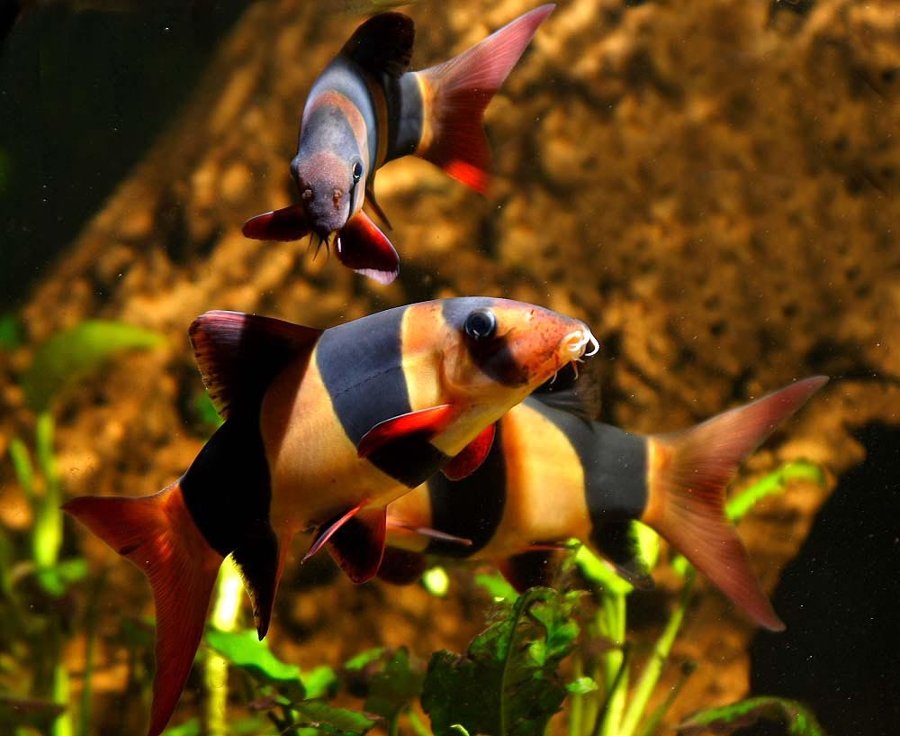 Exotic aquarium fish best for you aquarium design ideas for Rare freshwater aquarium fish