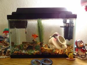 Aquarium Fish Compatible with Bettas
