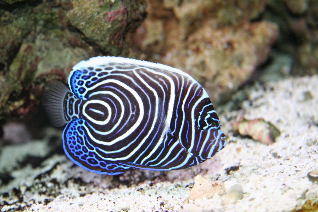 Aquarium Marine Fish Species