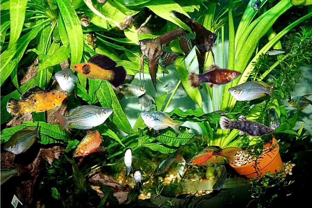 Aquarium Temperature for Tropical Fish