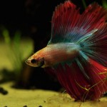 Betta Fish Aquarium Care