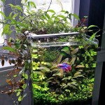 Betta Fish Aquarium Plants