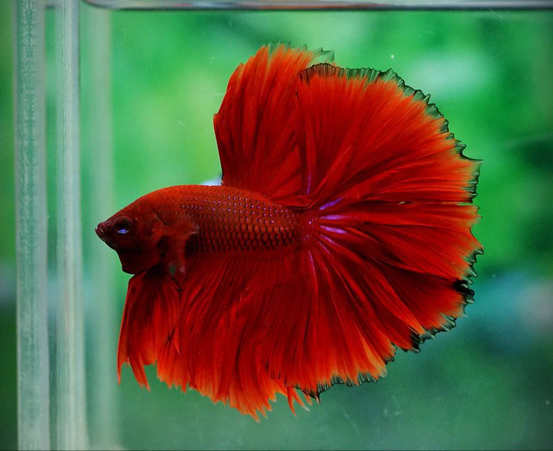 Betta Fish Aquarium Salt Fin Rot