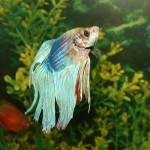 Betta Fish Aquarium Temperature