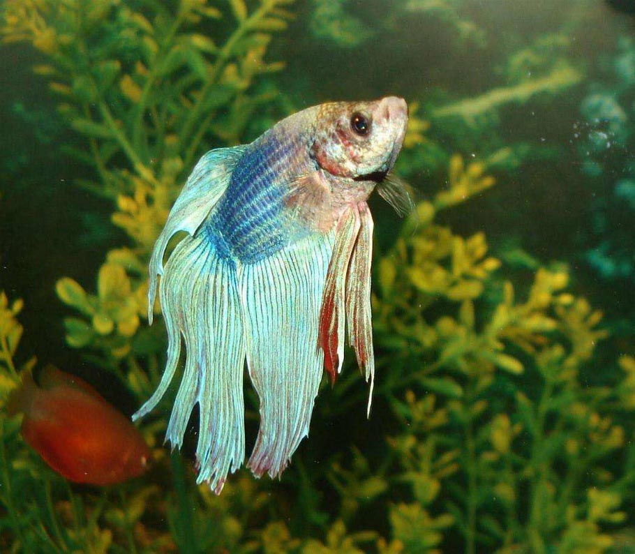 Betta Fish Aquarium Temperature