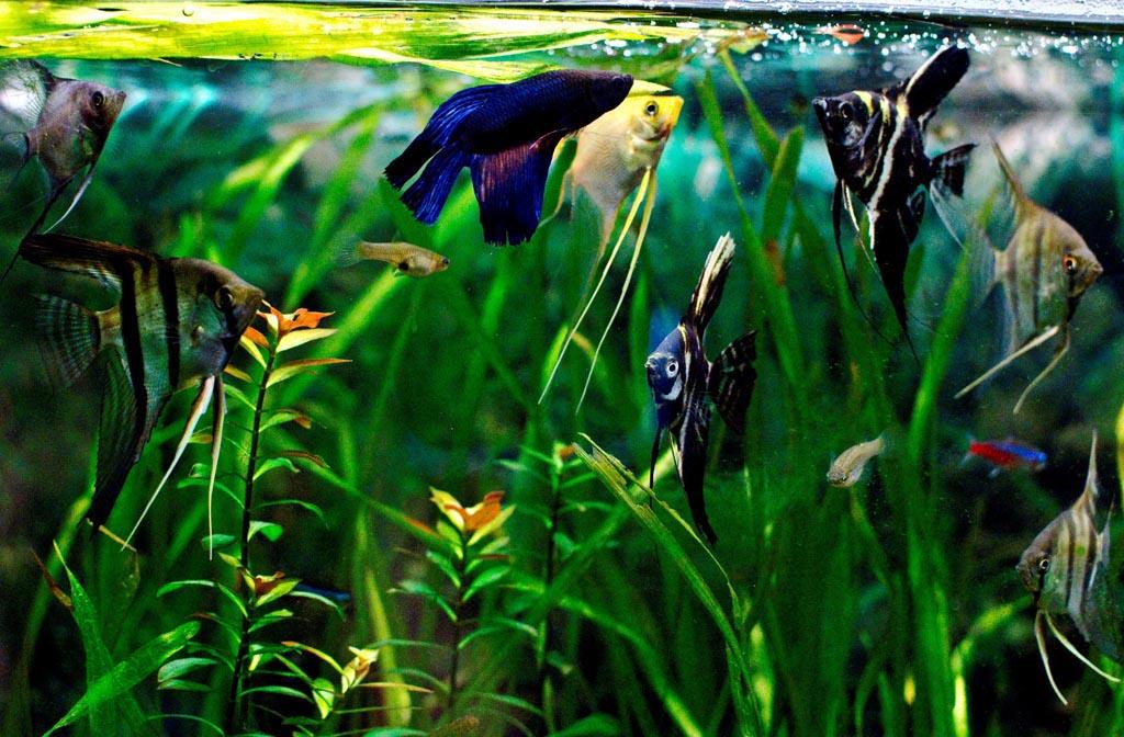 Betta Fish in Community Aquarium