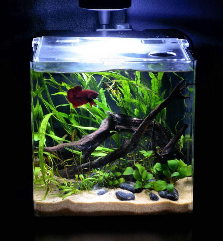 Betta Fish Plant Aquarium
