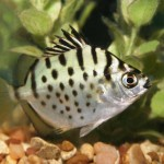 Brackish Water Aquarium Fish