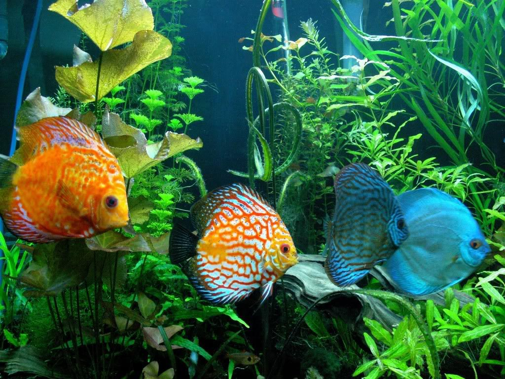 Cool aquarium fish combinations aquarium design ideas for Cool fresh water fish