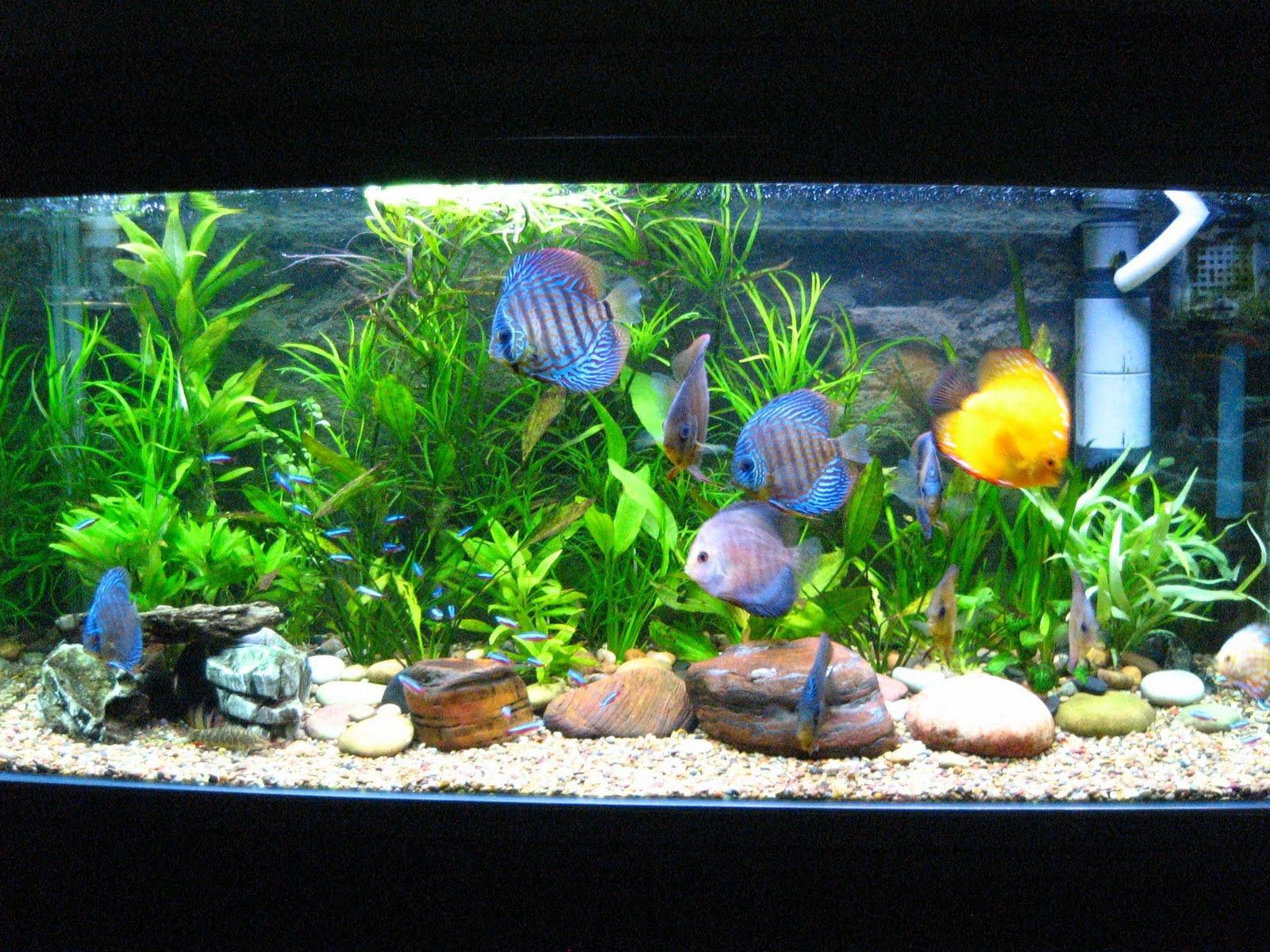 Cool aquarium fish freshwater aquarium design ideas for Cool fresh water fish