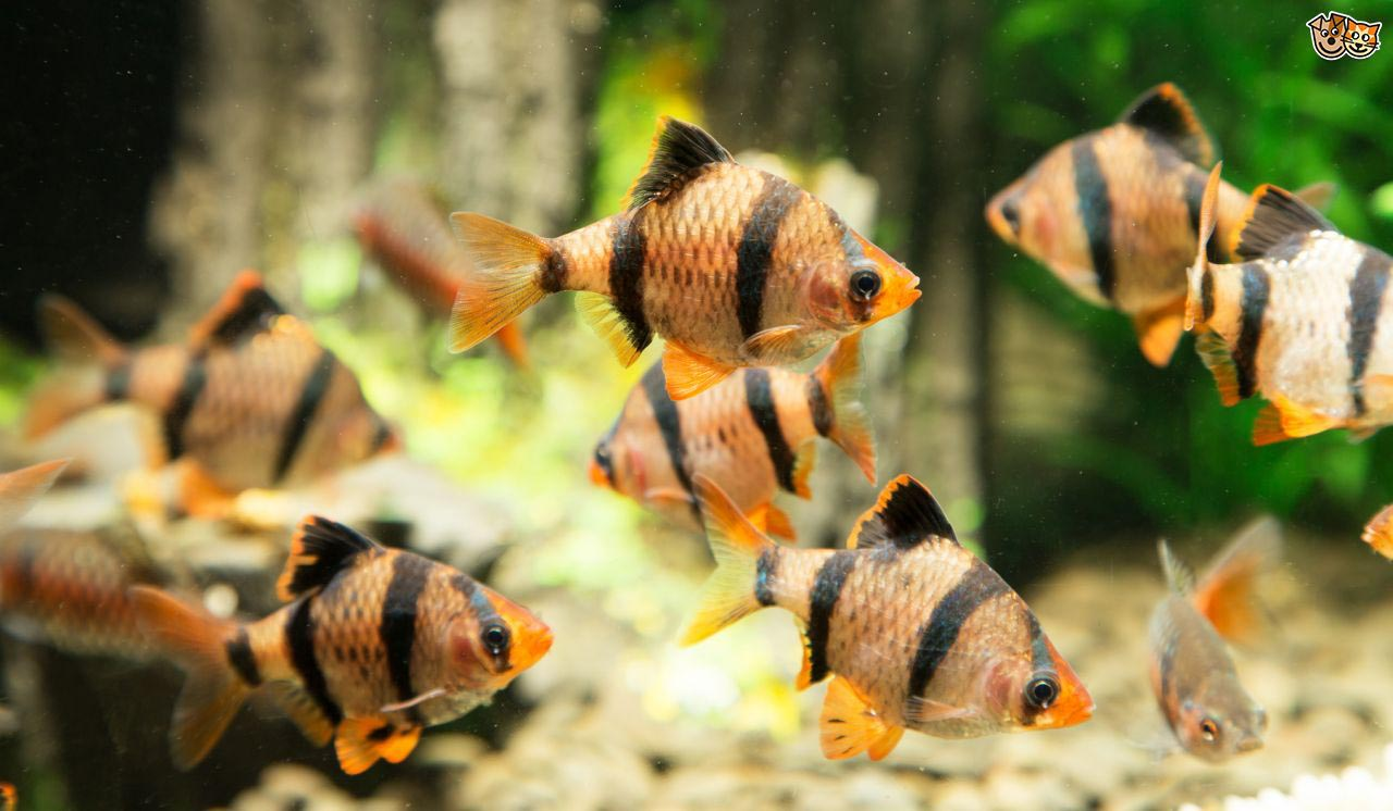 Cool Water Fish for Aquarium