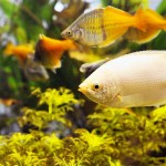 Cool Water Fish for Aquariums