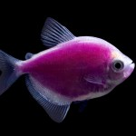 Exotic Freshwater Aquarium Fish List