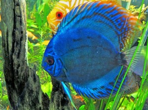 Exotic Freshwater Aquarium Fish Species