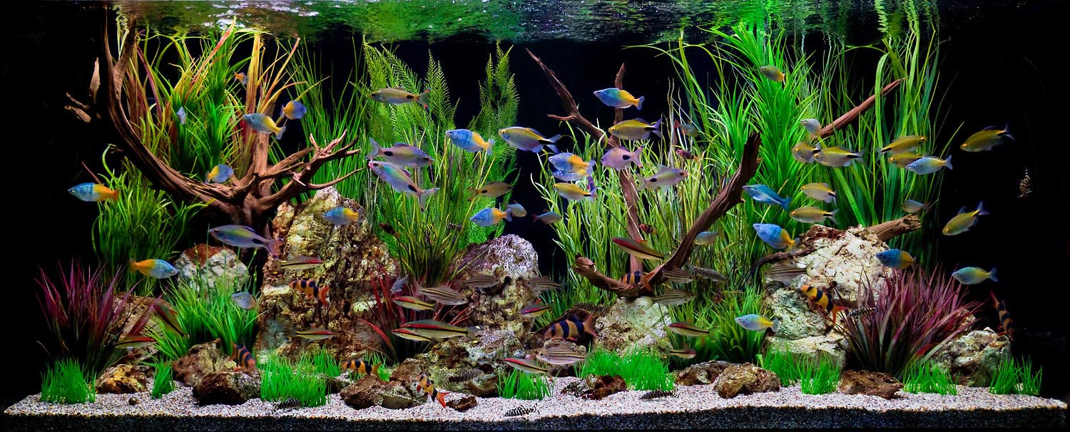 Aquarium fish aquarium design ideas for Rare freshwater aquarium fish
