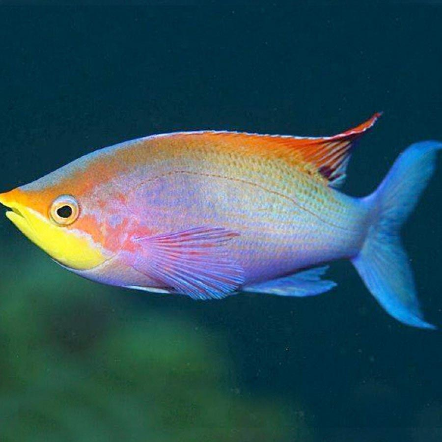 Exotic rare freshwater aquarium fish aquarium design ideas for Exotic tropical fish