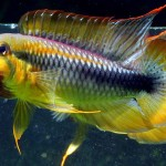 Exotic Tropical Freshwater Aquarium Fish