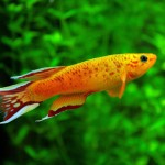 Freshwater Aquarium Exotic Fish