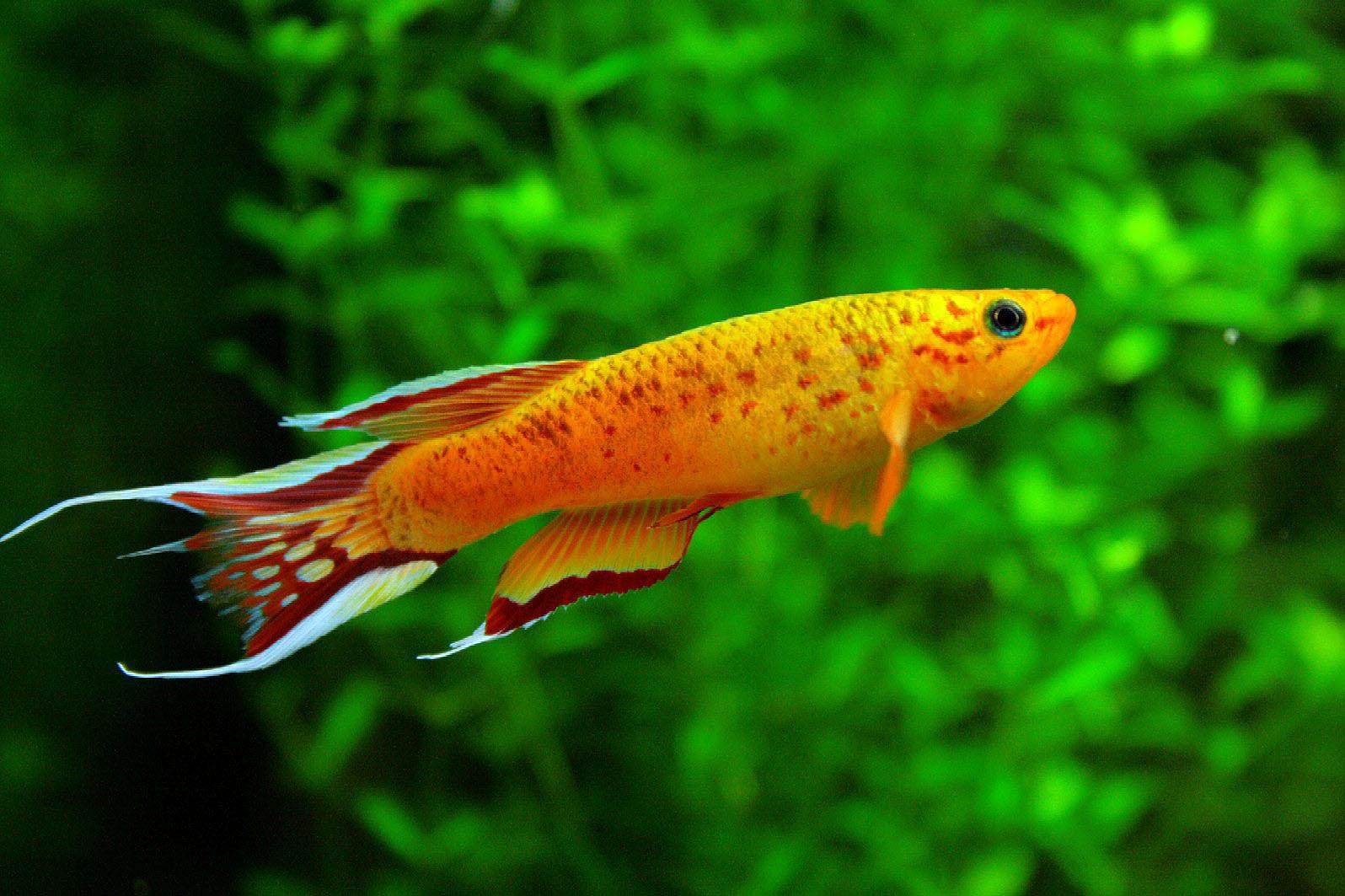 Freshwater aquarium exotic fish aquarium design ideas for Exotic fish tanks