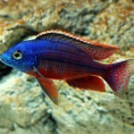 Freshwater Aquarium Fish Exotic