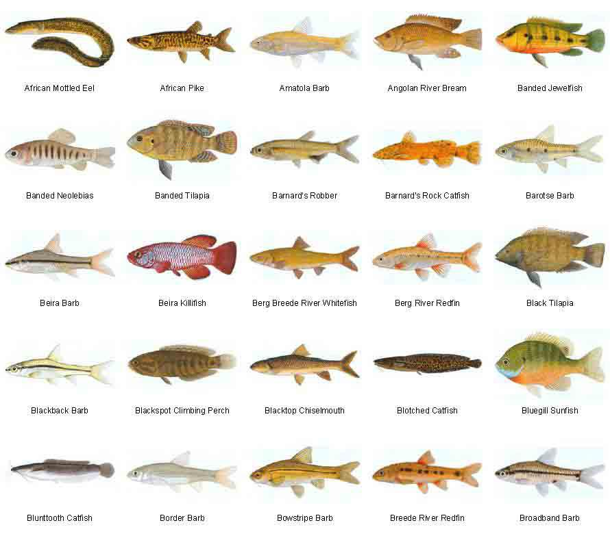 Freshwater Fish Species For Aquariums Aquarium Design Ideas
