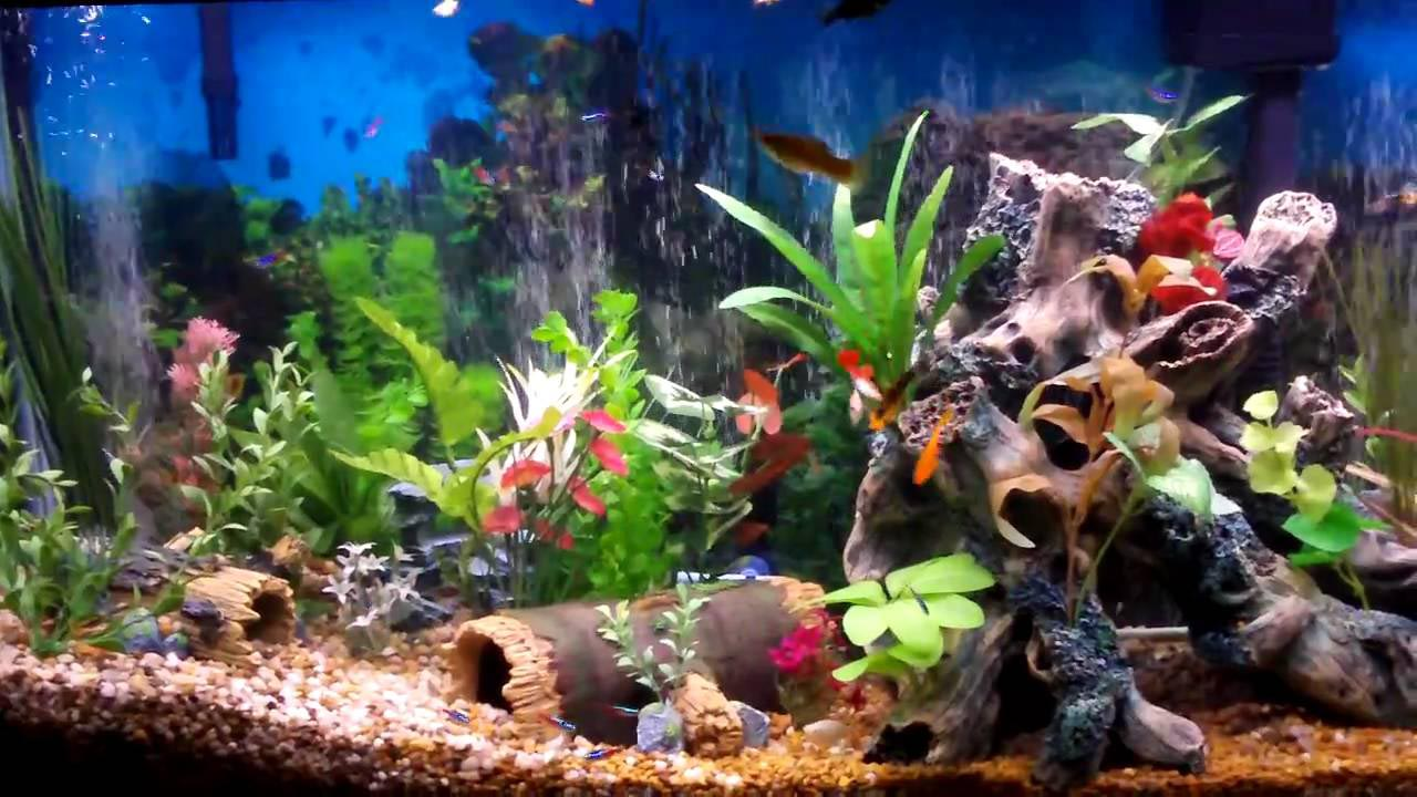 good freshwater aquarium fish - Freshwater Aquarium Design Ideas