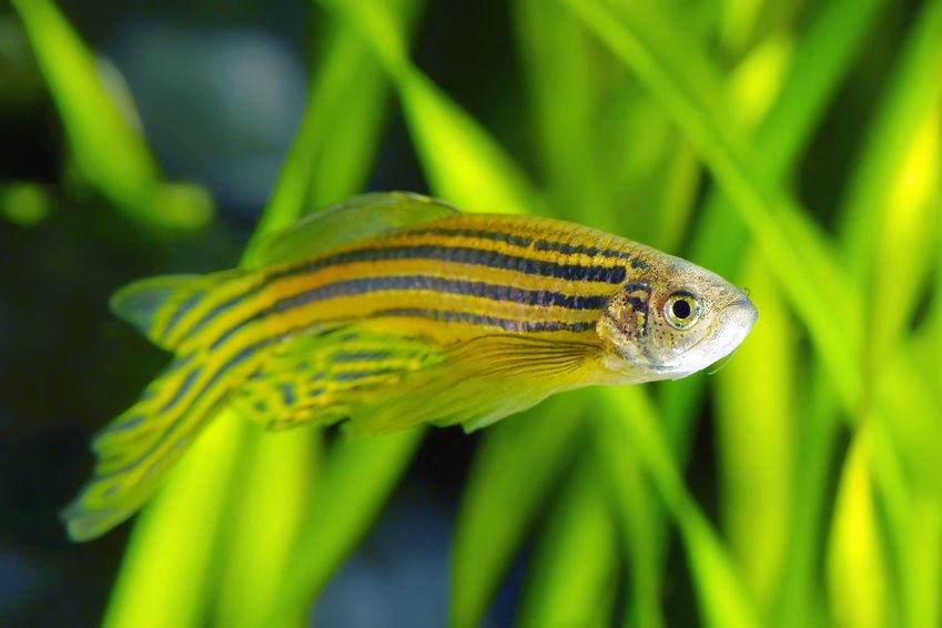 hardy fish for freshwater aquarium aquarium design ideas