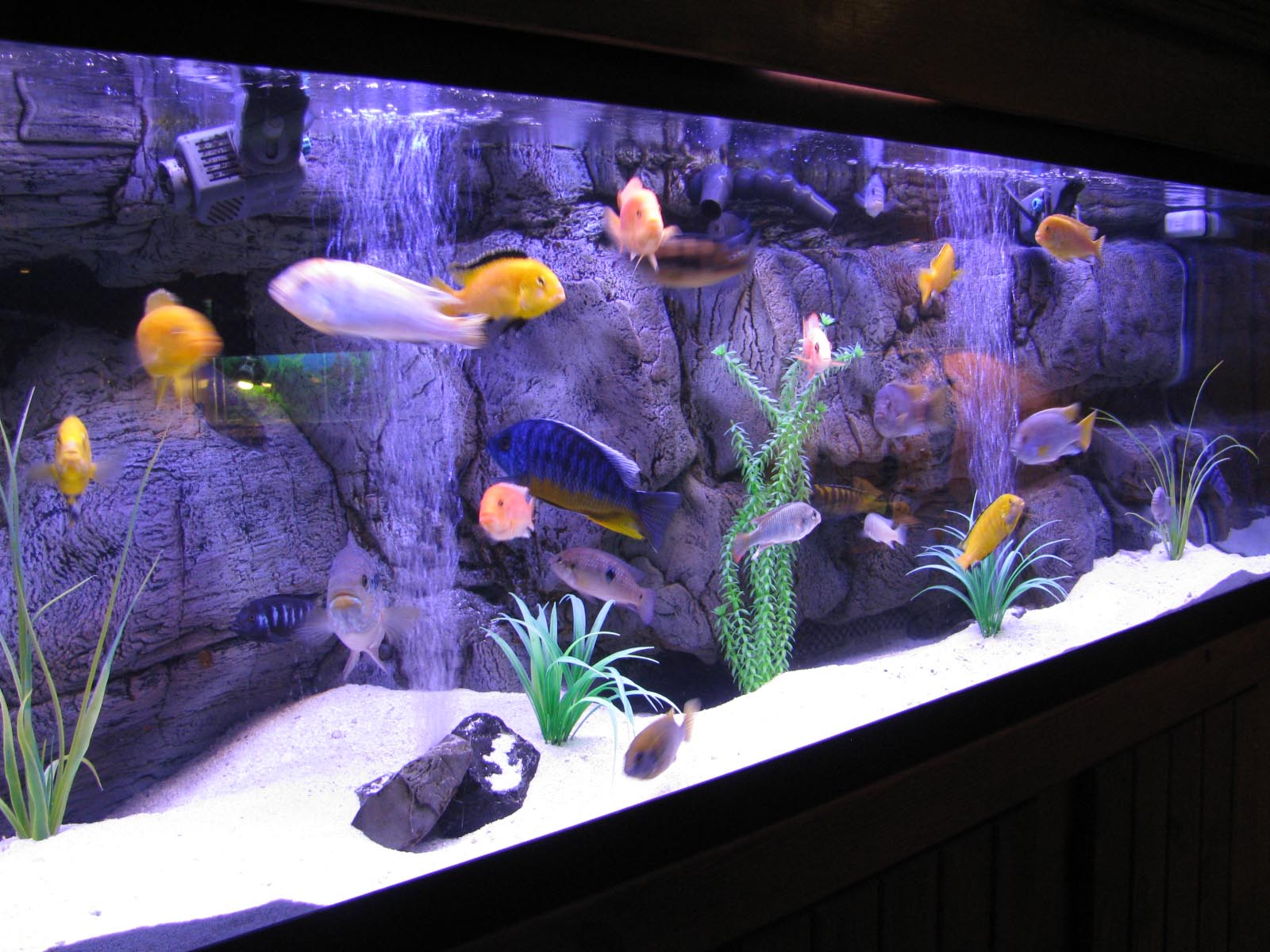 Large freshwater fish for aquarium aquarium design ideas for Tall fish tank decorations