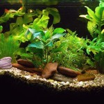 Live Aquarium Plant Bulbs