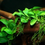 Live Aquarium Plants Anubias