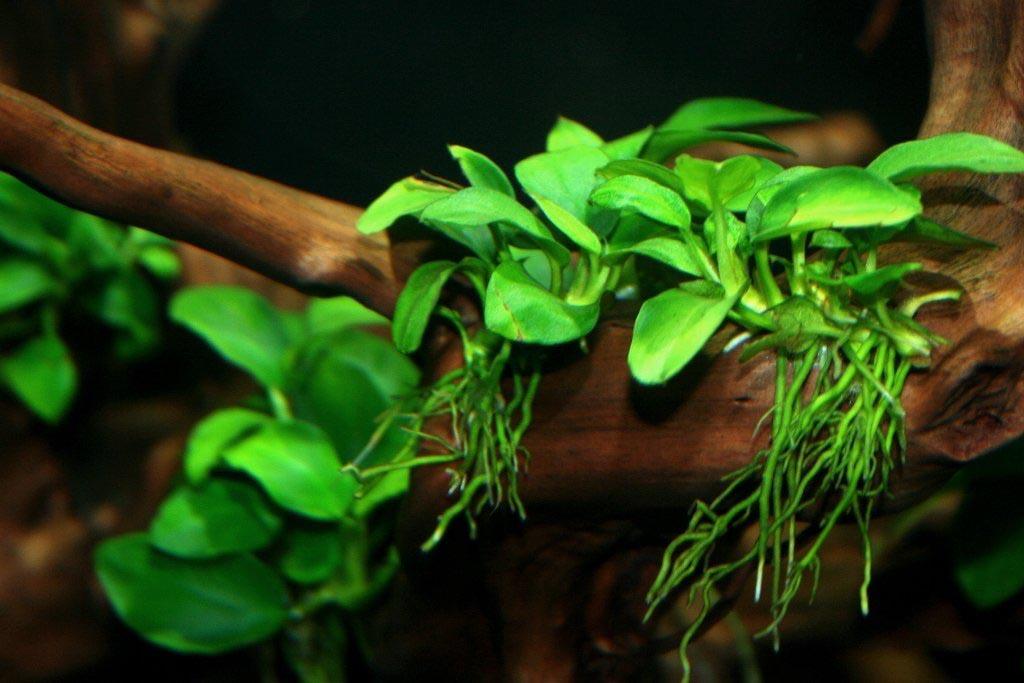 Live Aquarium Plants Anubias