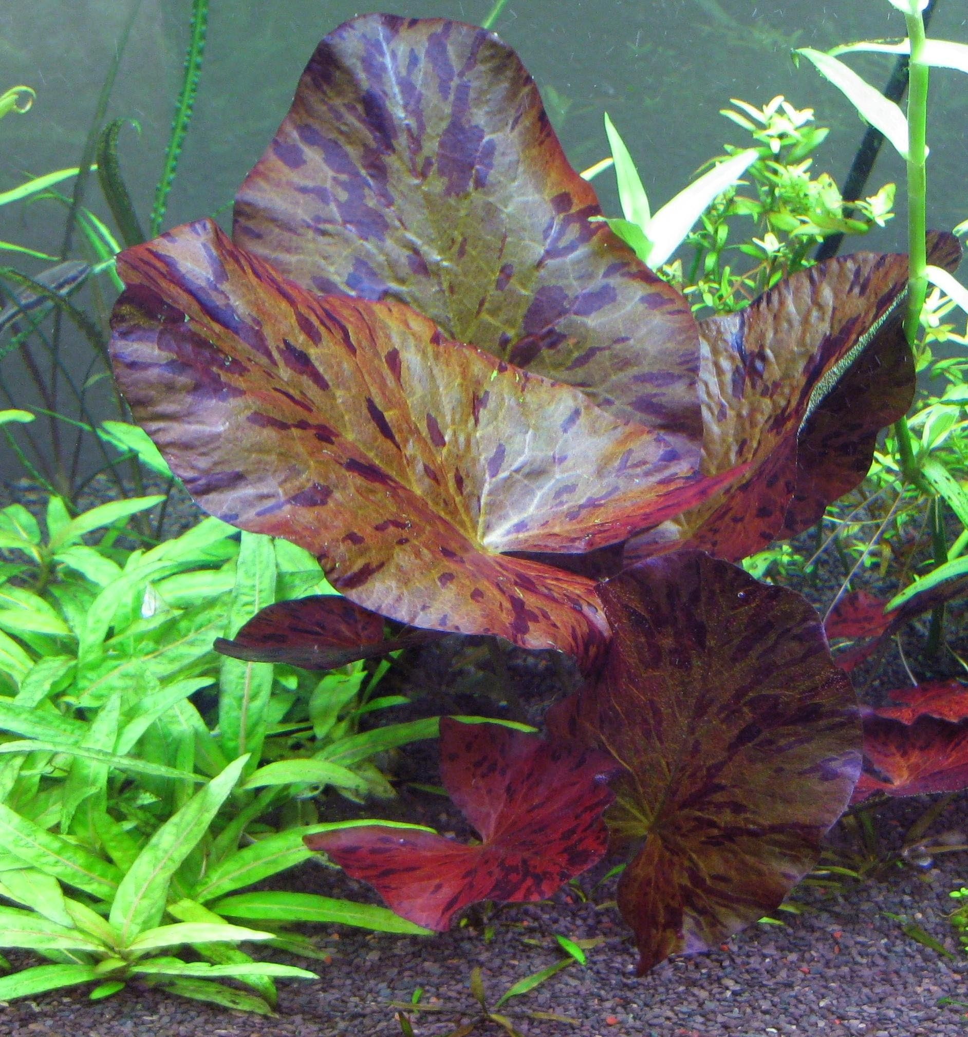 Live Aquarium Plants Lily Bulbs