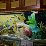 Live Freshwater Aquarium Fish