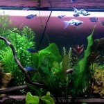 Live Plant Aquarium Fish