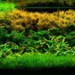 Live Plant for Aquarium