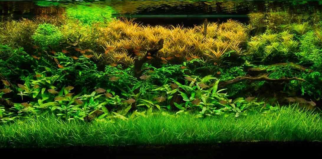 Live Plant for Aquarium