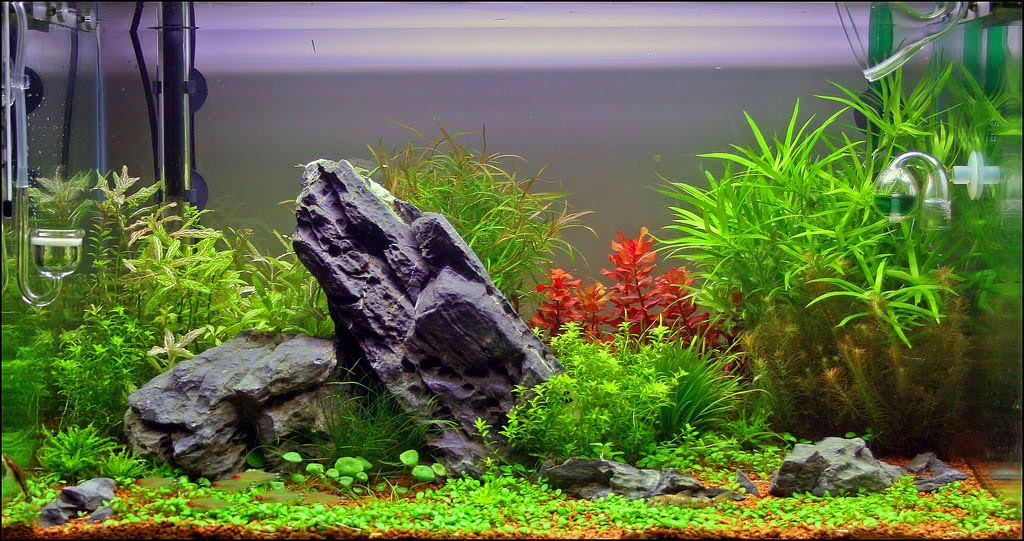 Live Plants for Aquarium