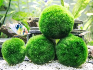 Marimo Moss Ball Live Aquarium Plant