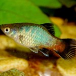 Peaceful Freshwater Aquarium Fish