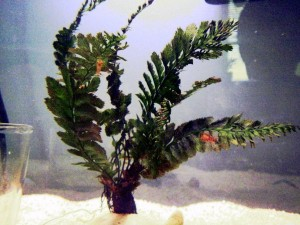 Petsmart Live Aquarium Plants