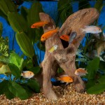 Pictures of Freshwater Aquarium Fish