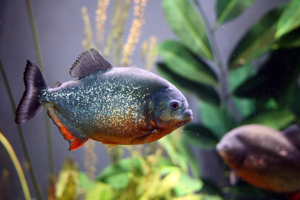 Piranha Fish in Aquarium