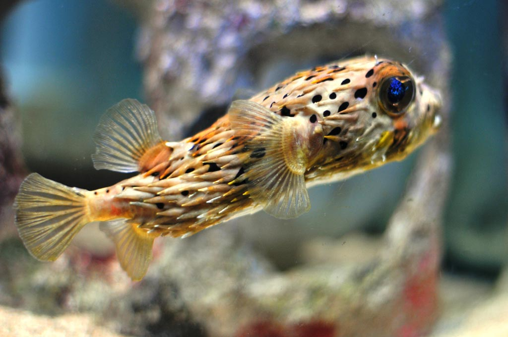 Puffer Fish Saltwater Aquarium
