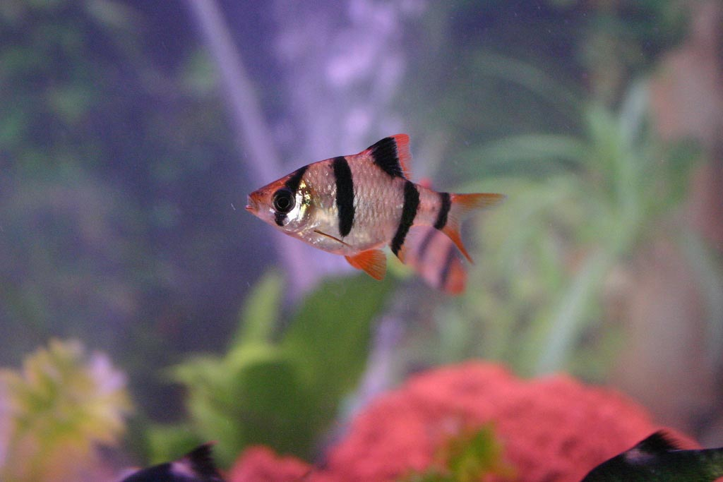 Small Aquarium Fish Types