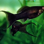 Small Black Fish in Aquarium
