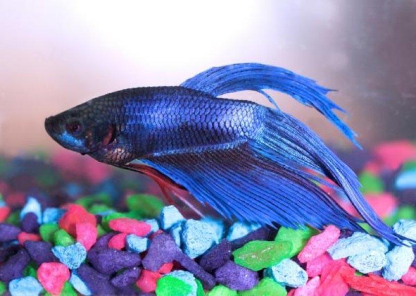 Small Blue Aquarium Fish
