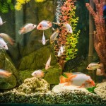 Small Cool Water Aquarium Fish