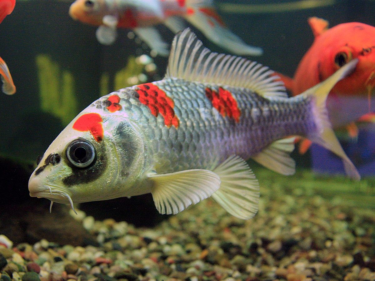 Small koi fish for aquarium aquarium design ideas for Koi fish living conditions