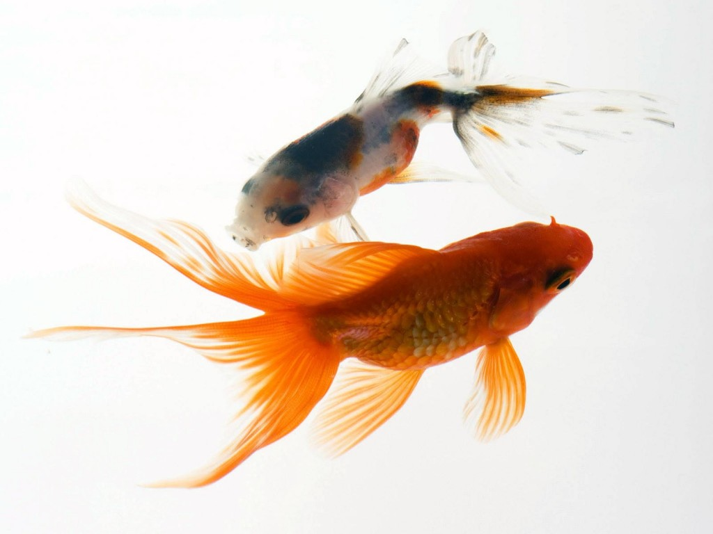 Small Orange Aquarium Fish
