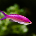 Small Pink Aquarium Fish